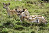 Two Female Fallow Deer Sitting In A Grassy Meadow