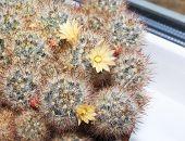 Blooming Cactus Mammillaria prolifera