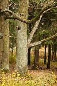 Autumn Oak Tree In Park