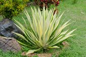 Ornamental Plants - Agave Caribbean - Scientific Name Agave Angustifolia