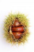 chestnuts bur