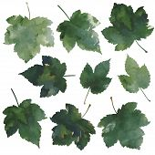 Currant Leaves