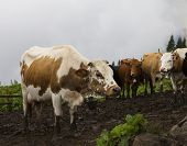Dairy  cows in a farm