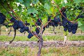 Dark Blue Vineyard Grapes On Trees