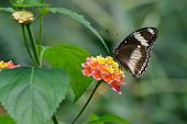 Great Eggfly Butterfly And Lantana Flowers