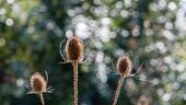 Seed Heads Of Fuller's Teasel Plants In The Fall Season