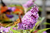Butterfly on buddleja flower.