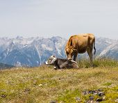 Cows In Mountain Landscape