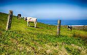 California Happy Cows