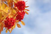 stock photo of mountain-ash  - Bunches of red mountain ash on a background of blue sky - JPG