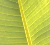 Banana Leaves.