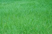 Texture Of Green Grass