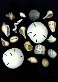 pic of sanddollar  - sea shell collection on black background - JPG