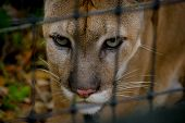 picture of cougar  - beautiful ferocious cougar face close up in belize - JPG