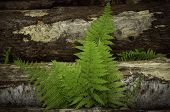Fern growing in between logs