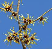 Blooming Witch Hazel Against Blue Sky