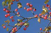 Twig With Decorative Red Crabapples Against Blue Sky