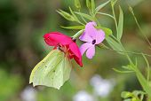 Brimstone Butterfly On A Summer Flower