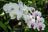 stock photo of yellow orchid  - White orchids in the garden on holiday - JPG