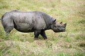 Black Rhinoceros Diceros Bicornis Michaeli In Captivity
