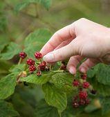 Female Hands Picking Fruit