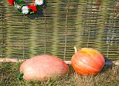 Two Big Pumpkins Lie At A Wattled Fence.