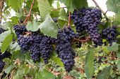 Wine Grape Clusters