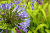 Purple Agapanthus With Grass Blades