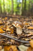 picture of edible mushroom  - edible mushroom in forest - JPG