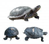 stock photo of turtle shell  - Set of turtles - JPG
