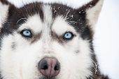 Portrait Of A Siberian Husky Close-up