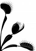 image of flytrap  - vector illustration of Venus flytrap in black and white colors - JPG