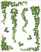 picture of ivy  - Set of Hanging branches of ivy on a white background  - JPG