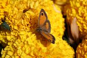 pic of gatekeeper  - Gatekeeper butterfly feeding off the nectar of an orange marigold flower - JPG