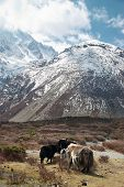 pic of yaks  - Tibetan landscape with yaks and snow - JPG