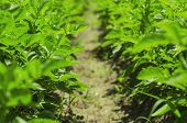 pic of potato-field  - Green field with young potato plants and leaves - JPG