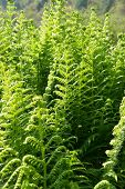 Young Green Fern