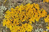 stock photo of lichenes  - A close - JPG
