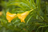 stock photo of oleander  - Thevetia peruviana also known as yellow oleander  - JPG
