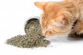 Orange Cat Sniffing Dried Catnip