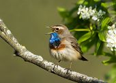 stock photo of nightingale  - Singing Bluethroat on the bird cherry tree - JPG