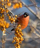 picture of sea-buckthorn  - Bullfinch sitting on the branch of Sea - JPG
