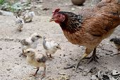 foto of fighting-rooster  - Way of Life Mother hens and little baby chick [[** Note: Shallow depth of field ** Note: Visible grain at 100%, best at smaller sizes - JPG