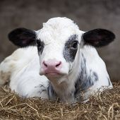 foto of dairy barn  - very young black and white calf in straw of barn looks alert into camera - JPG