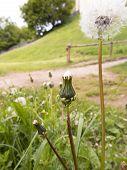 stock photo of dandelion  - dandelions or faded flowers common dandelion in a meadow - JPG