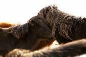 picture of pony  - Portrait of two dark Icelandic ponies in a herd - JPG
