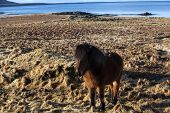 foto of pony  - Brown icelandic pony on a meadow in Iceland - JPG