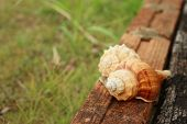 stock photo of conch  - conch shell on a background of wooden - JPG