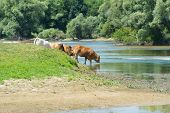 image of charolais  - River the Doubs in the western of France with cattle Charolais cows - JPG