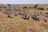 stock photo of wildebeest  - Masai Mara wildebeest migration in Tanzania Africa - JPG